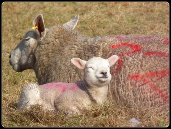 lamb in the sun