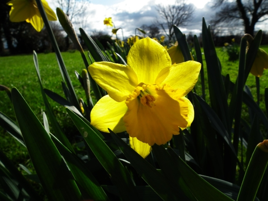 Daffodils in Waverton