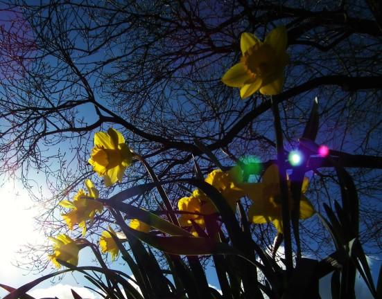 Daffodils in Waverton