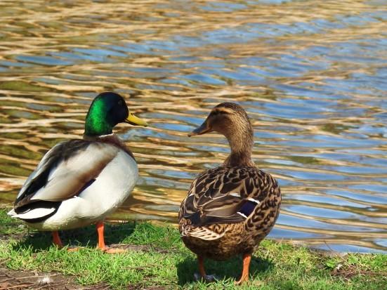 Mallard Duck Pair