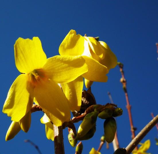 Forsythia blooms